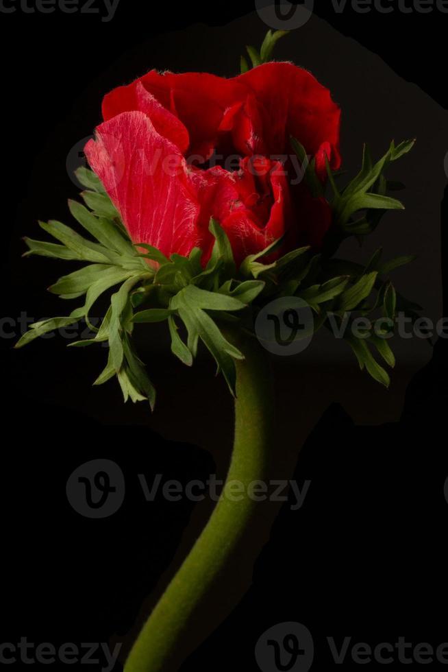 fiore di anemone rosso isolato su uno sfondo nero foto