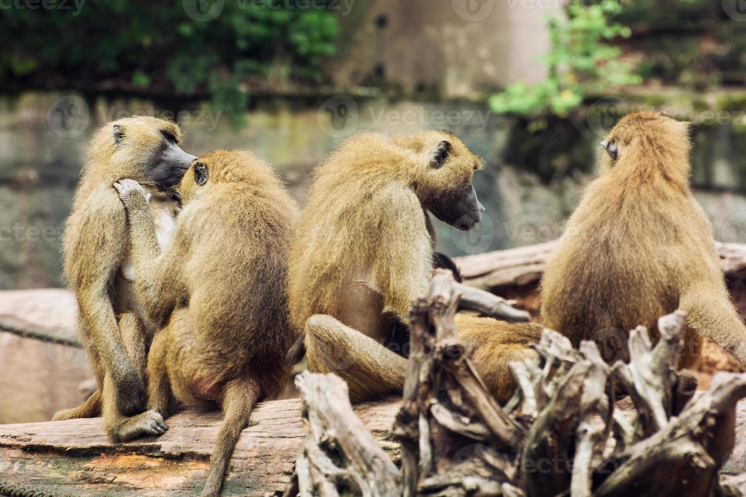 famiglia del babbuino della Guinea foto