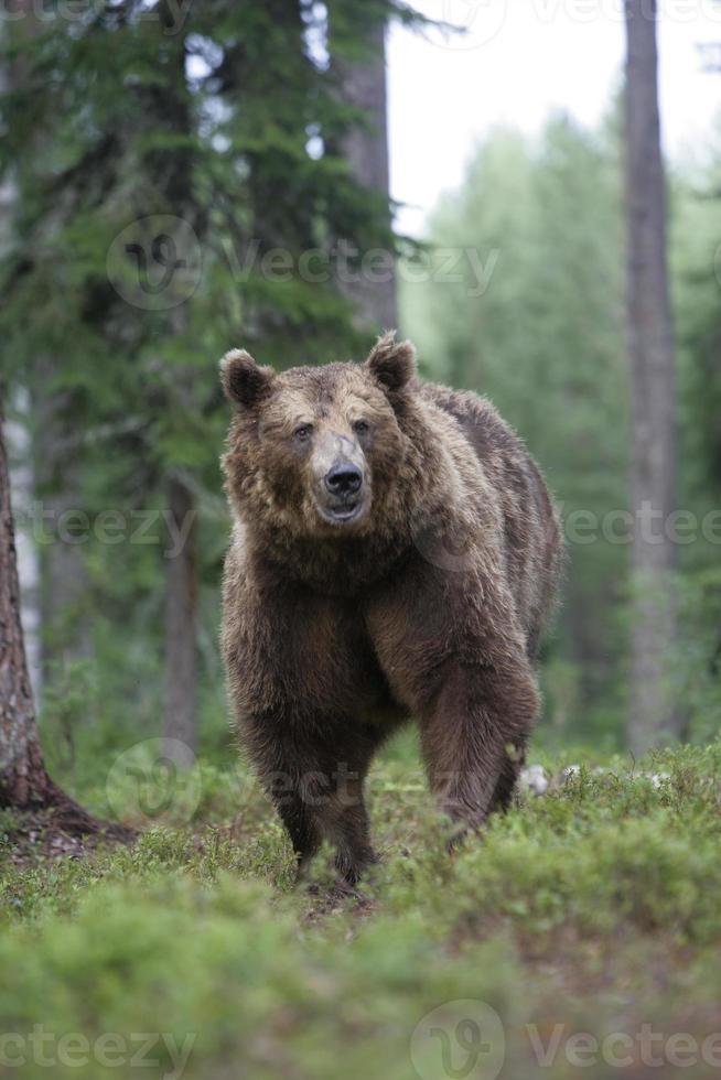 orso bruno europeo, ursus arctos foto