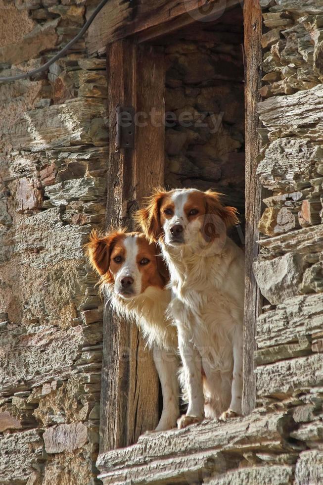 coppia di cani sporgendosi fuori da una finestra - perros foto