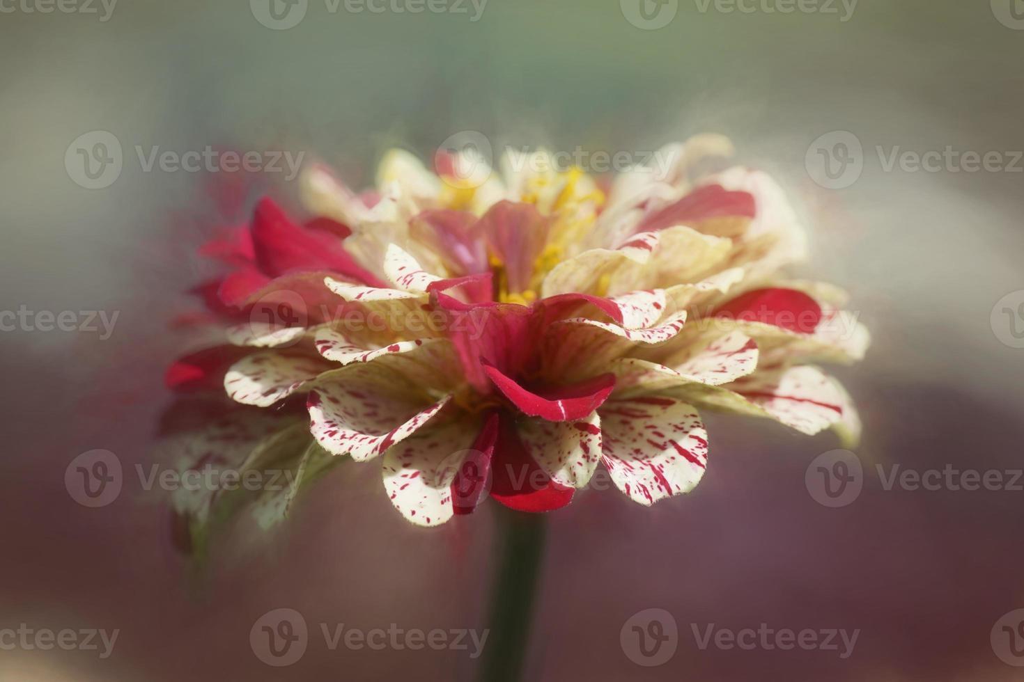 asteraceae fiore zinnia elegante mix di bastoncini di menta piperita foto