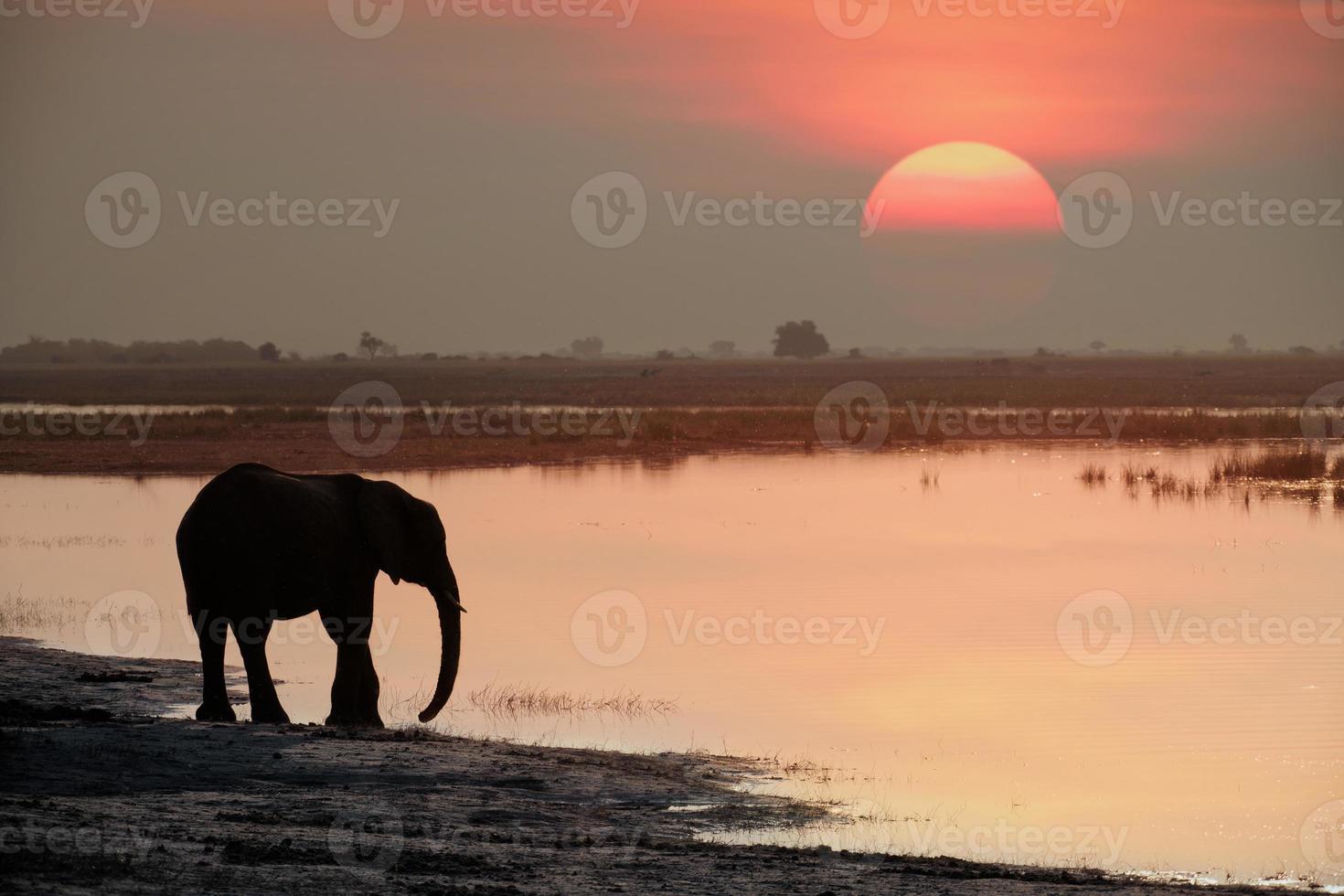 elefante che beve al tramonto foto