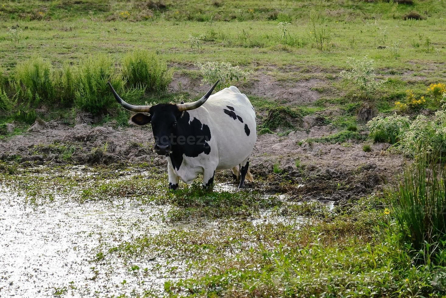 mucca longhorn acqua potabile foto