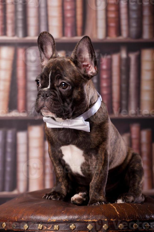 cucciolo di bulldog francese con fiocco al collo foto
