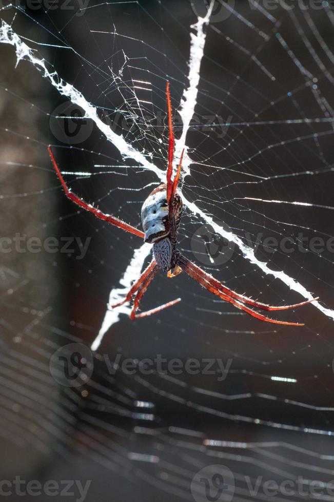 st. andrew's cross spider, regione di kimberley, australia occidentale foto