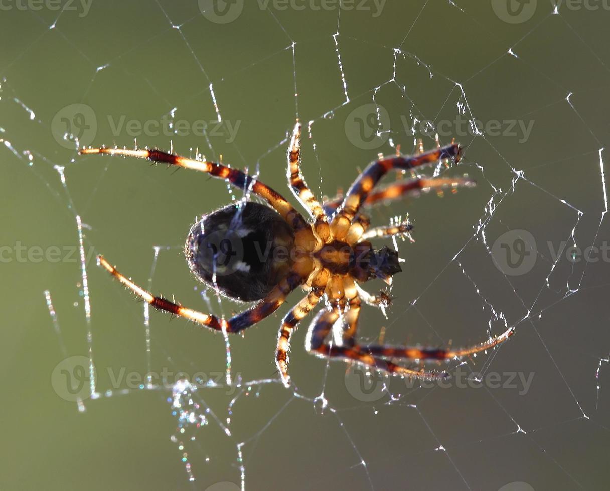 ragno retroilluminato foto