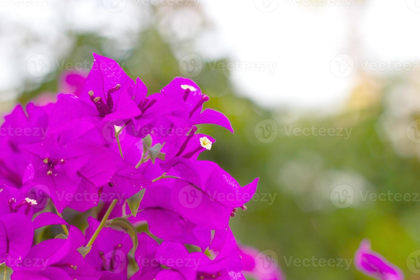 fiori di bouganville viola foto