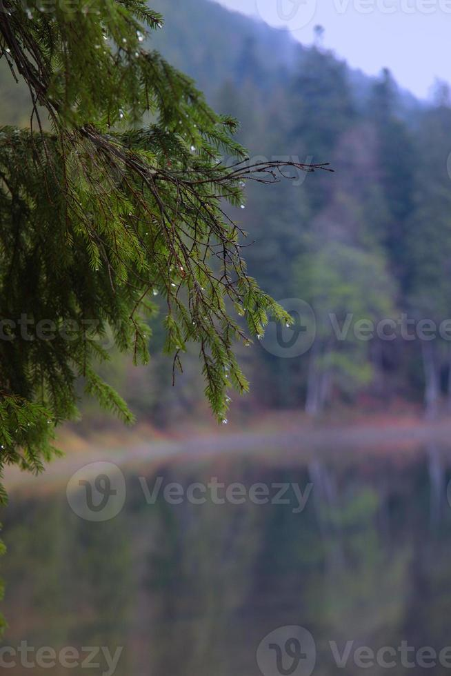 gocce di pioggia sul ramo di abete su uno sfondo di lago foto
