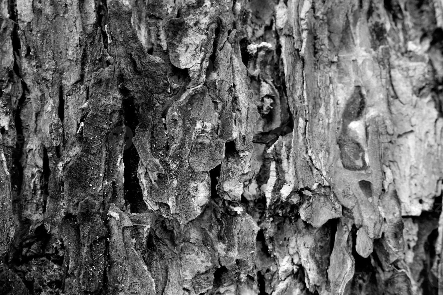 dettaglio della corteccia degli alberi, bianco e nero foto