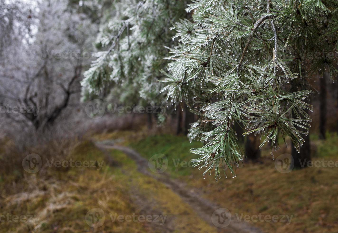 pino coperto di ghiaccio. foto