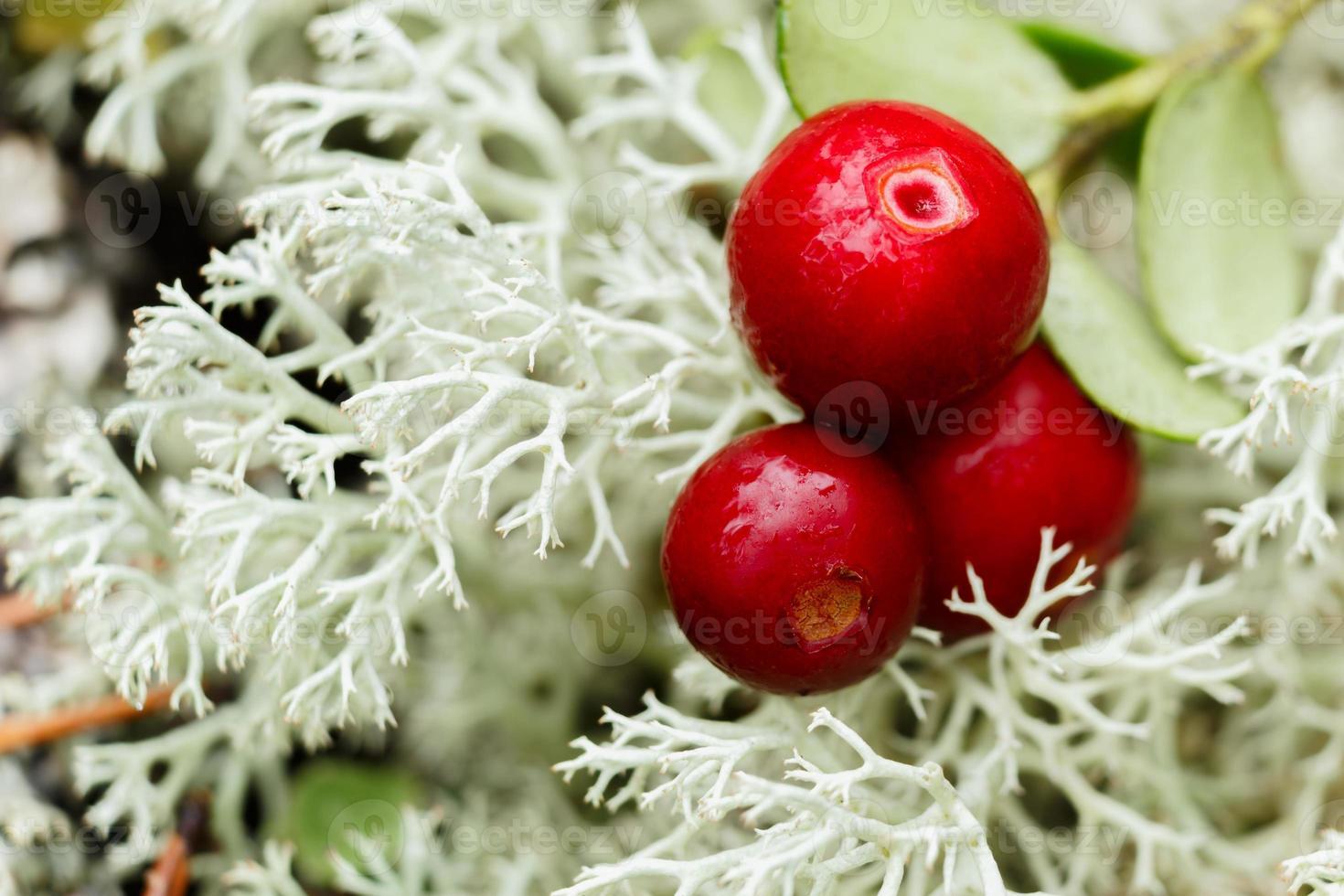 cowberry (mirtillo rosso, mirtillo rosso) foto