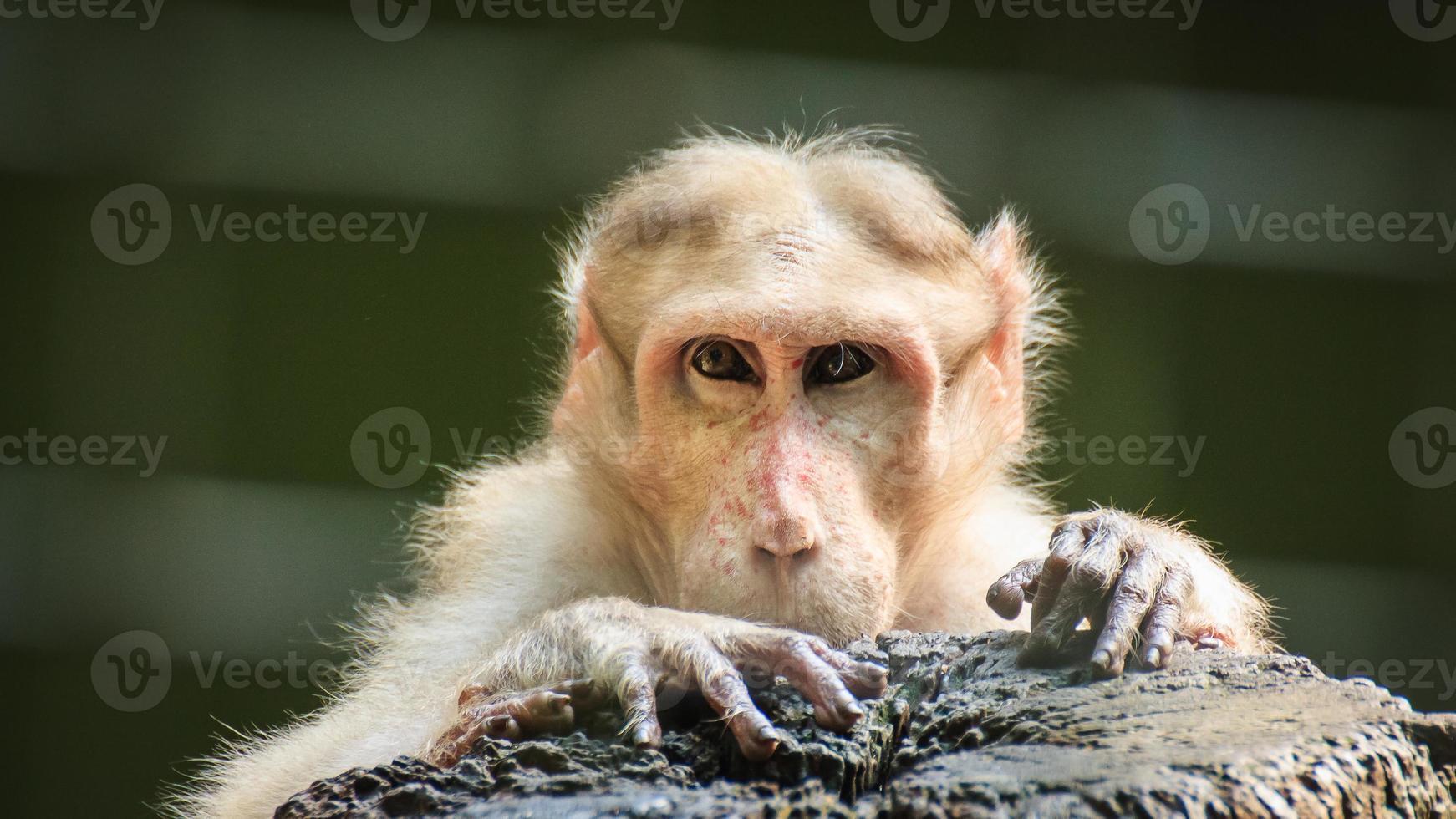 scimmia guardando umano foto