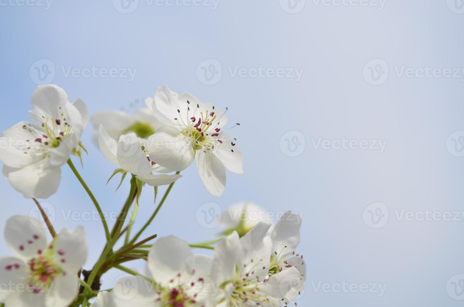 primo piano dei fiori di pera foto