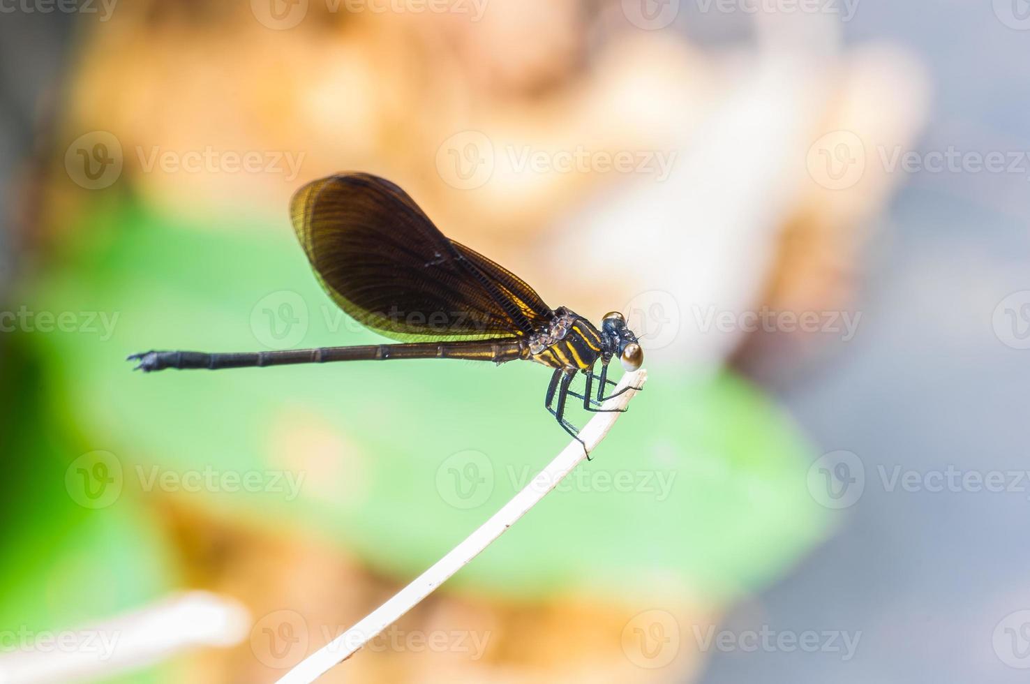 mosca del drago da vicino foto