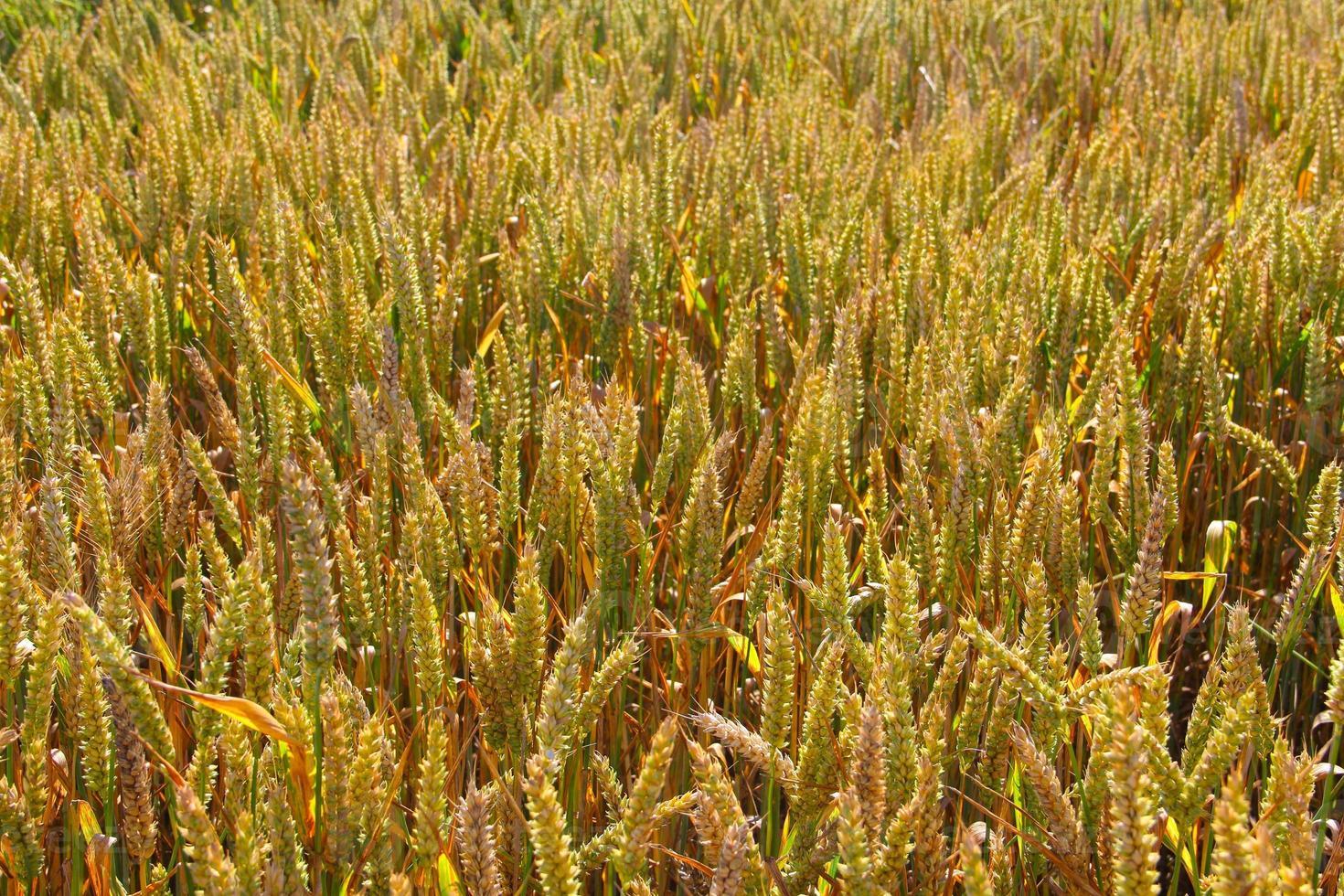 primo piano campo di grano foto