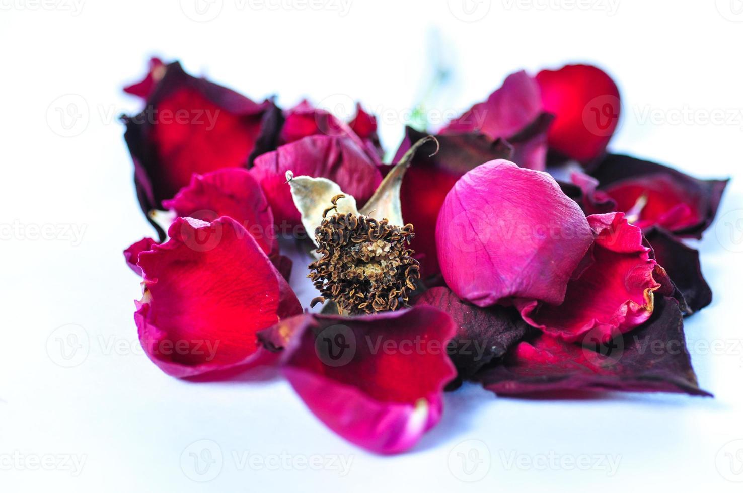 vicino rosa rossa foto