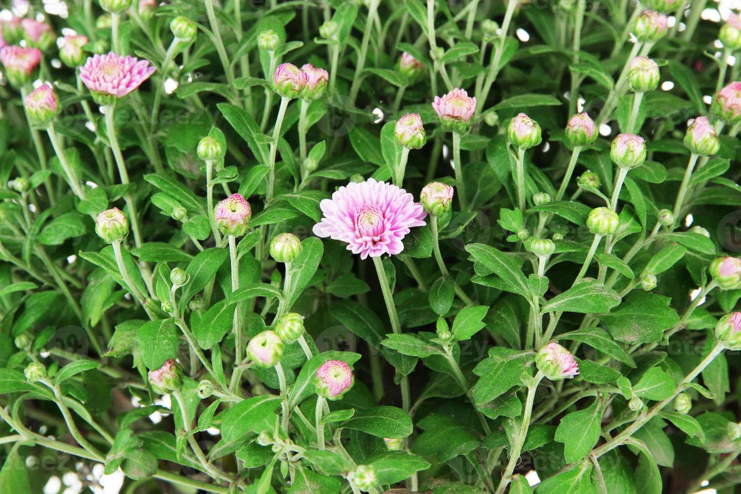 alto vicino del cespuglio del crisantemo foto