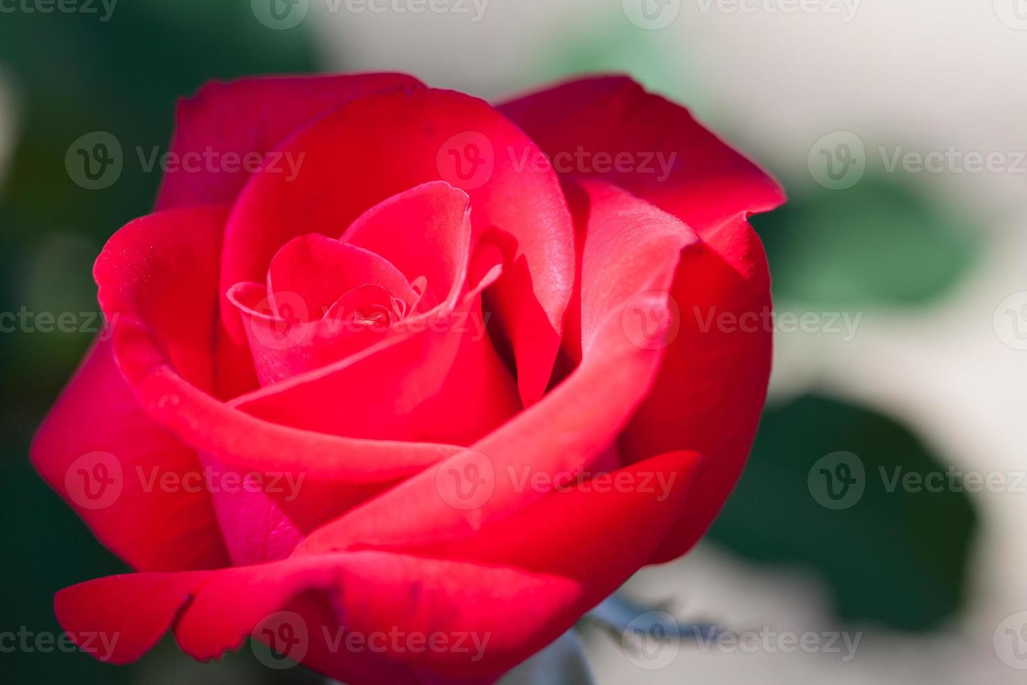 le rose si chiudono. sfondo foto