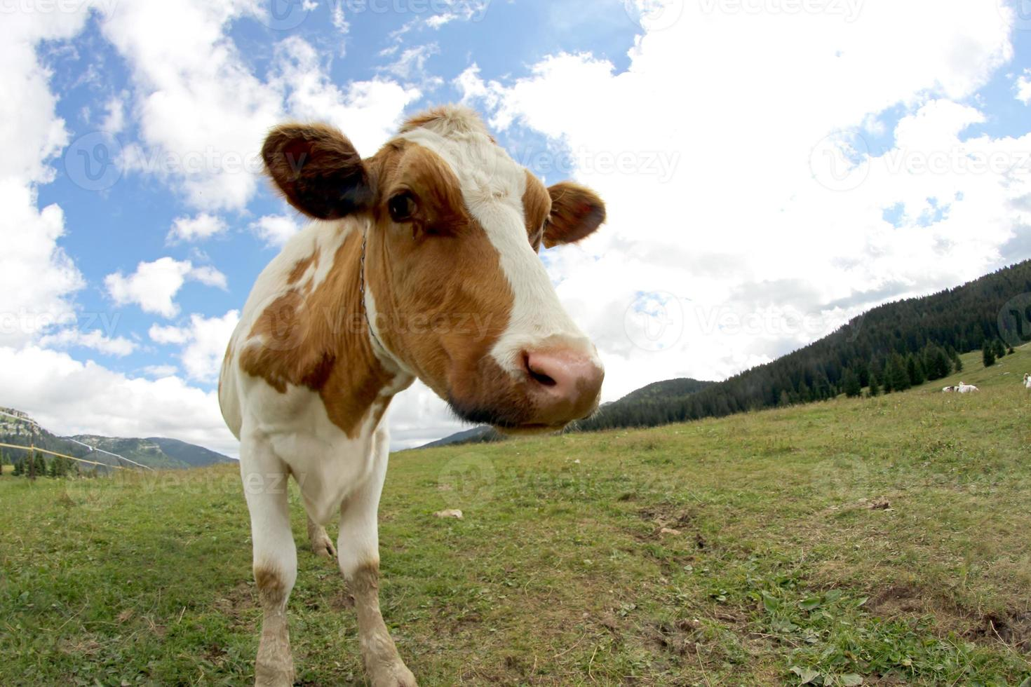 mucca al pascolo girato con obiettivo fisheye e nuvole foto