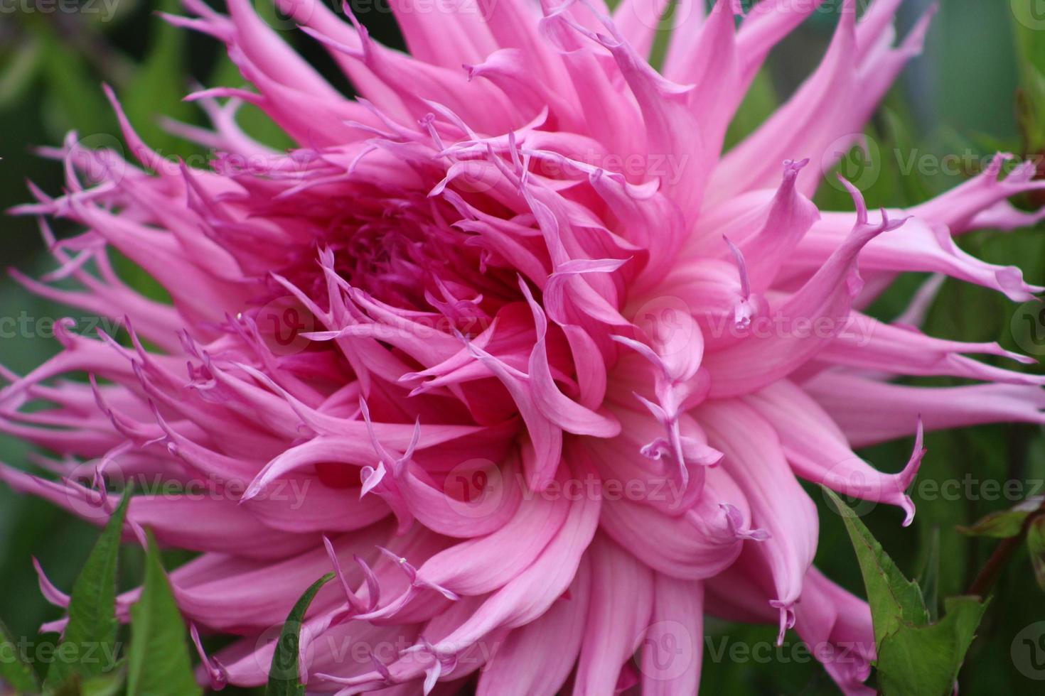 fiore rosa da vicino foto