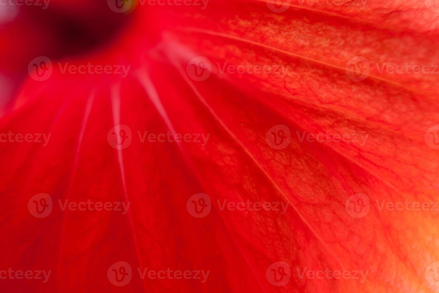 ibisco rosso, primo piano foto