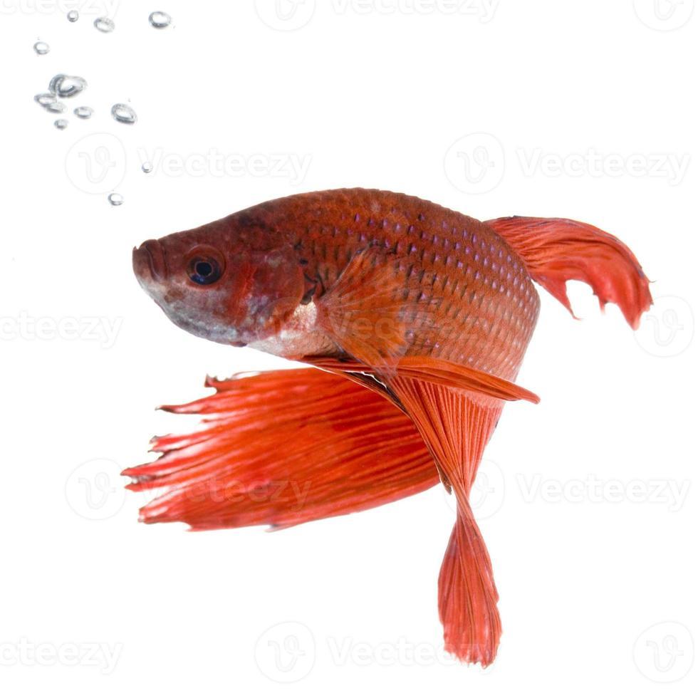 pesce combattente siamese arancione brillante con bolle foto