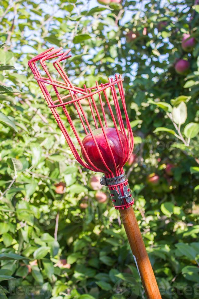 raccoglitrice di mele con mela rossa foto