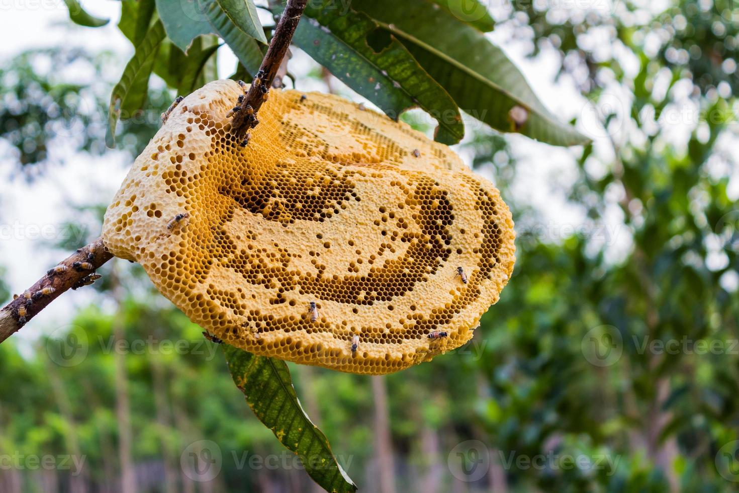 giallo bellissimo nido d'ape con miele e giovane ape sull'albero. foto