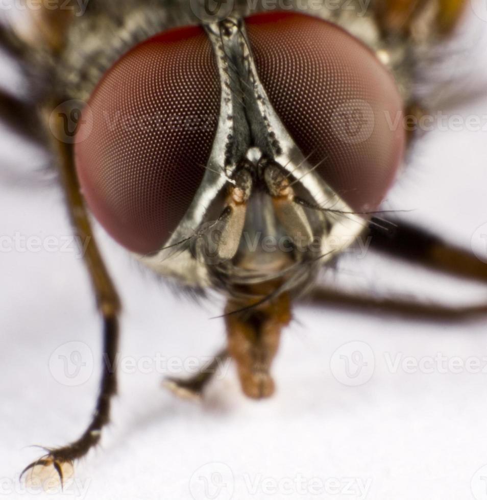 testa di una mosca domestica - tre foto