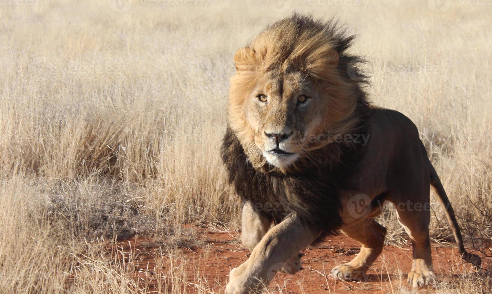 leone maschio in carica foto