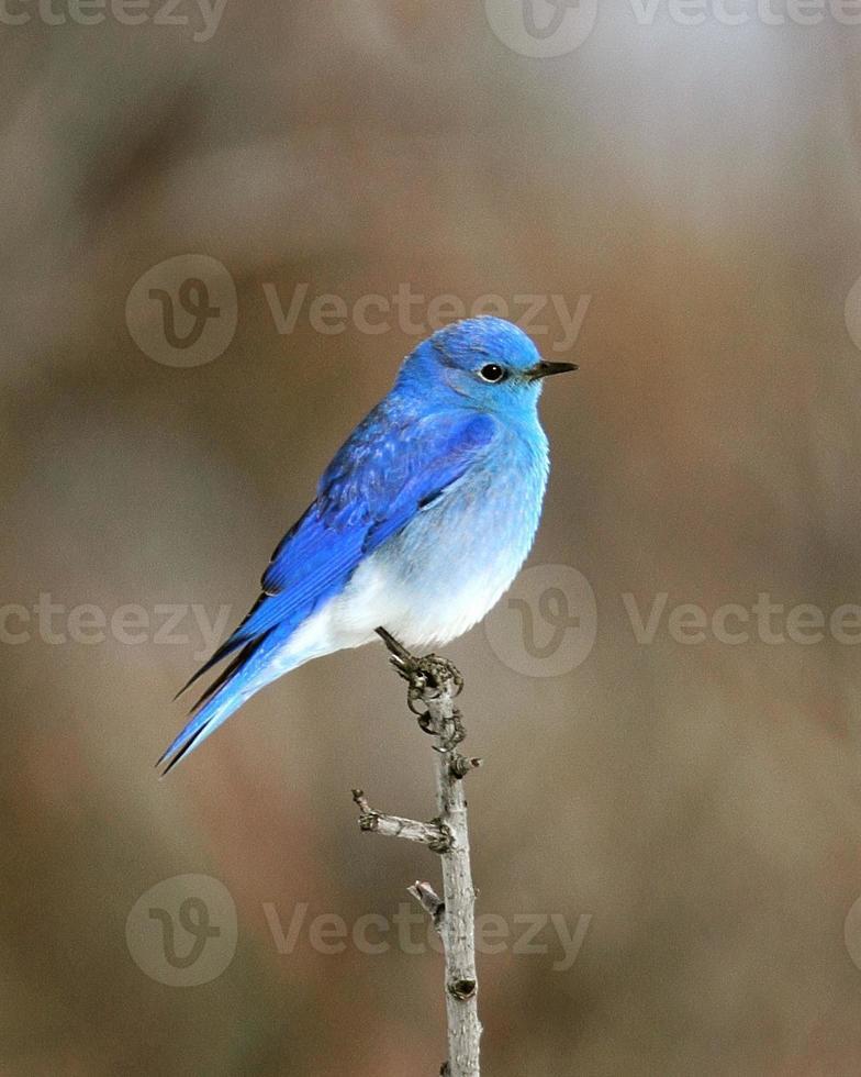 maschio di montagna bluebird foto