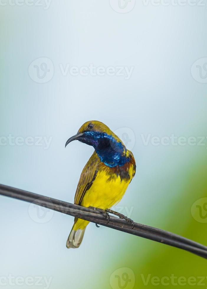 maschio sunbird sostenuto da oliva foto