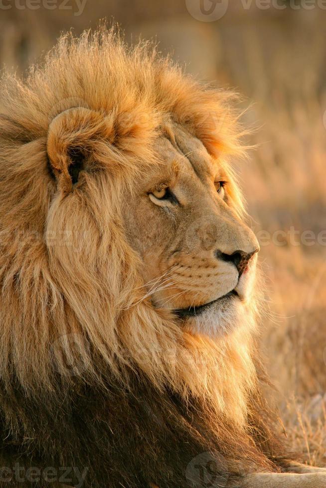 grande leone maschio africano foto