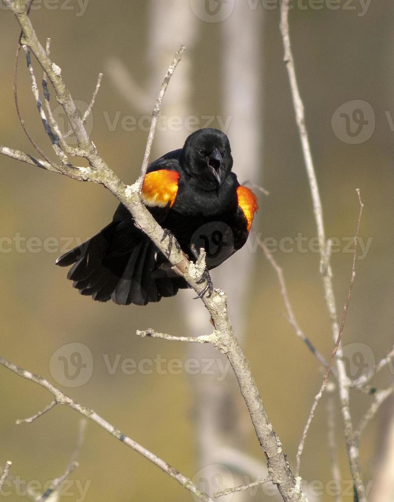 maschio dalle ali rosse in allerta foto