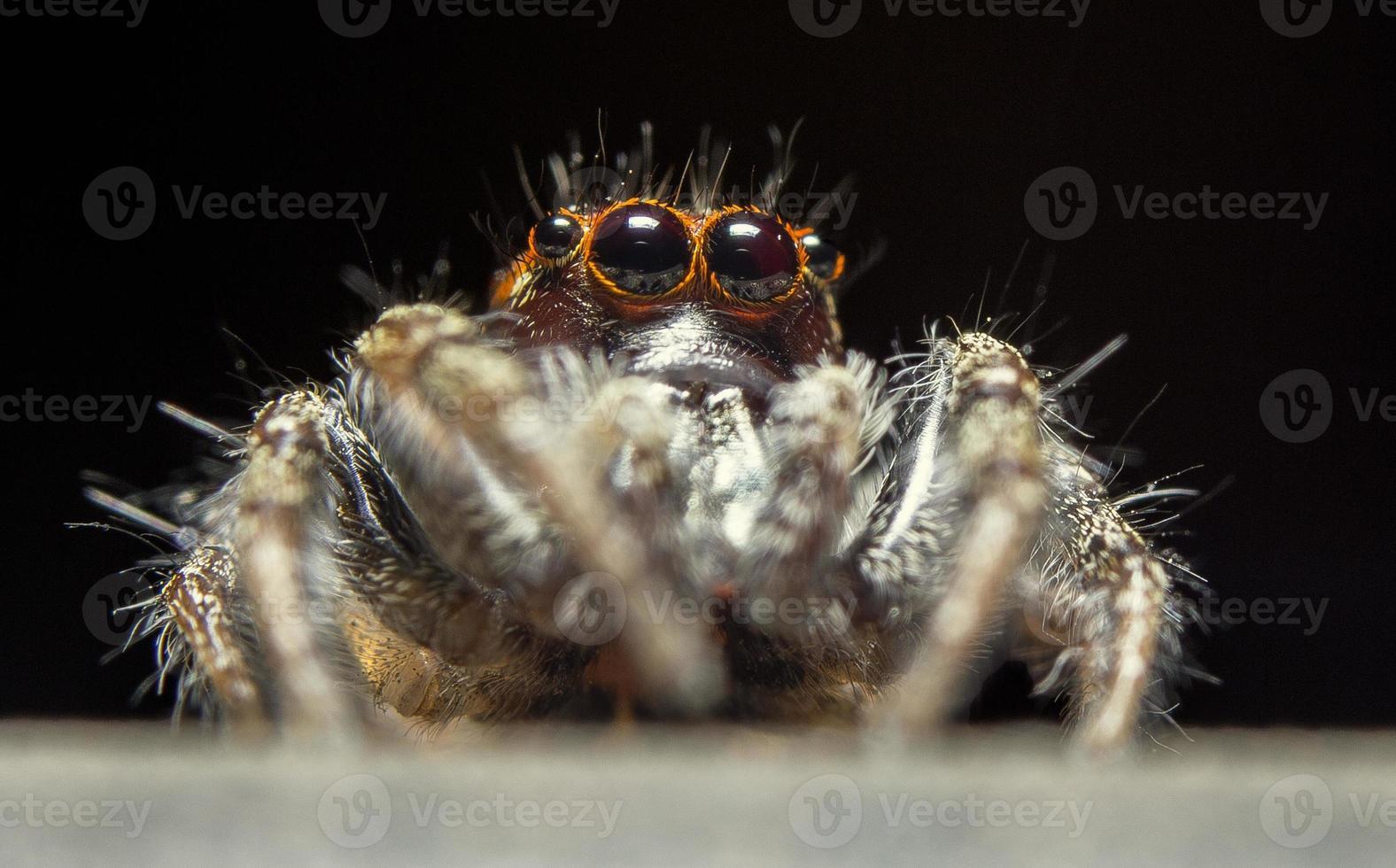 ragno maschio che salta (thiodina hespera) foto