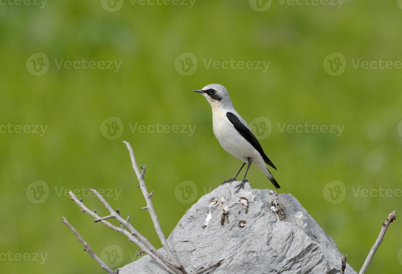 grano del nord, oenanthe, maschio singolo foto