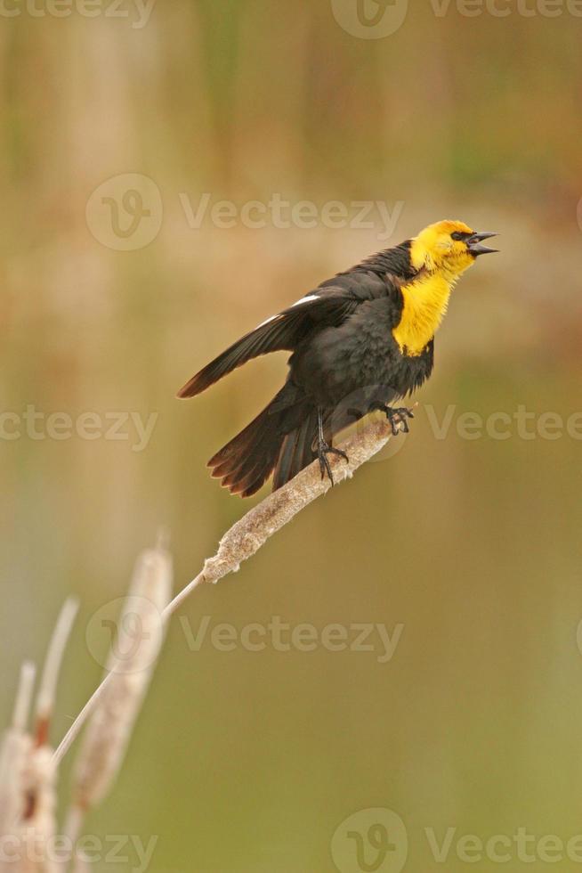 maschio merlo dalla testa gialla (xanthocephalus xanthocephalus) foto