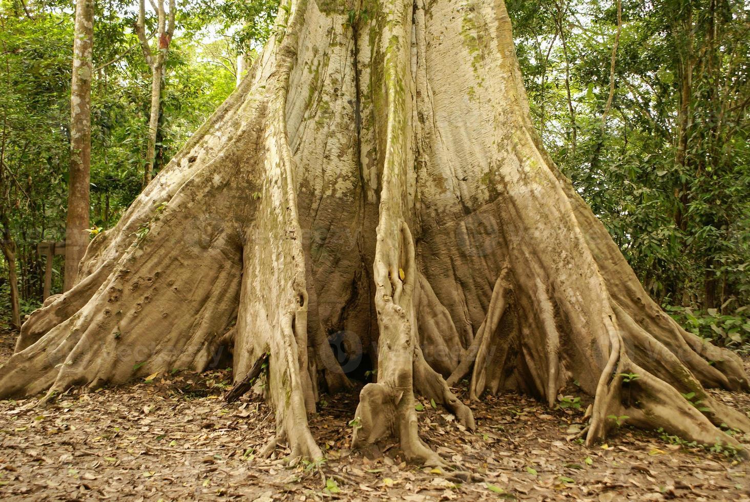 albero della giungla amazzonica foto
