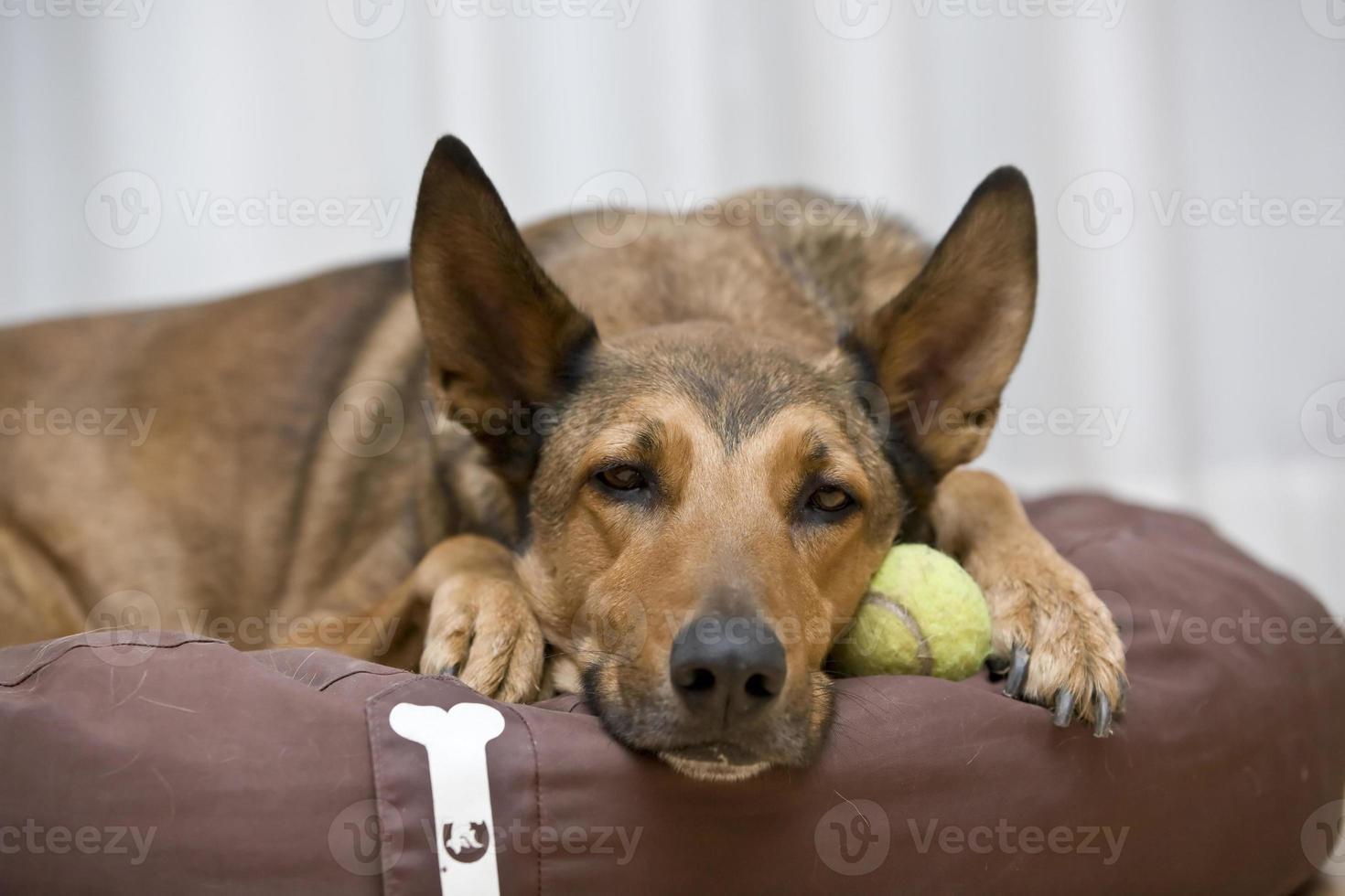 Malinois belga che dorme sulla palla da tennis foto