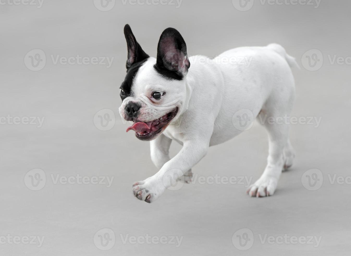 giovane cane bulldog francese foto