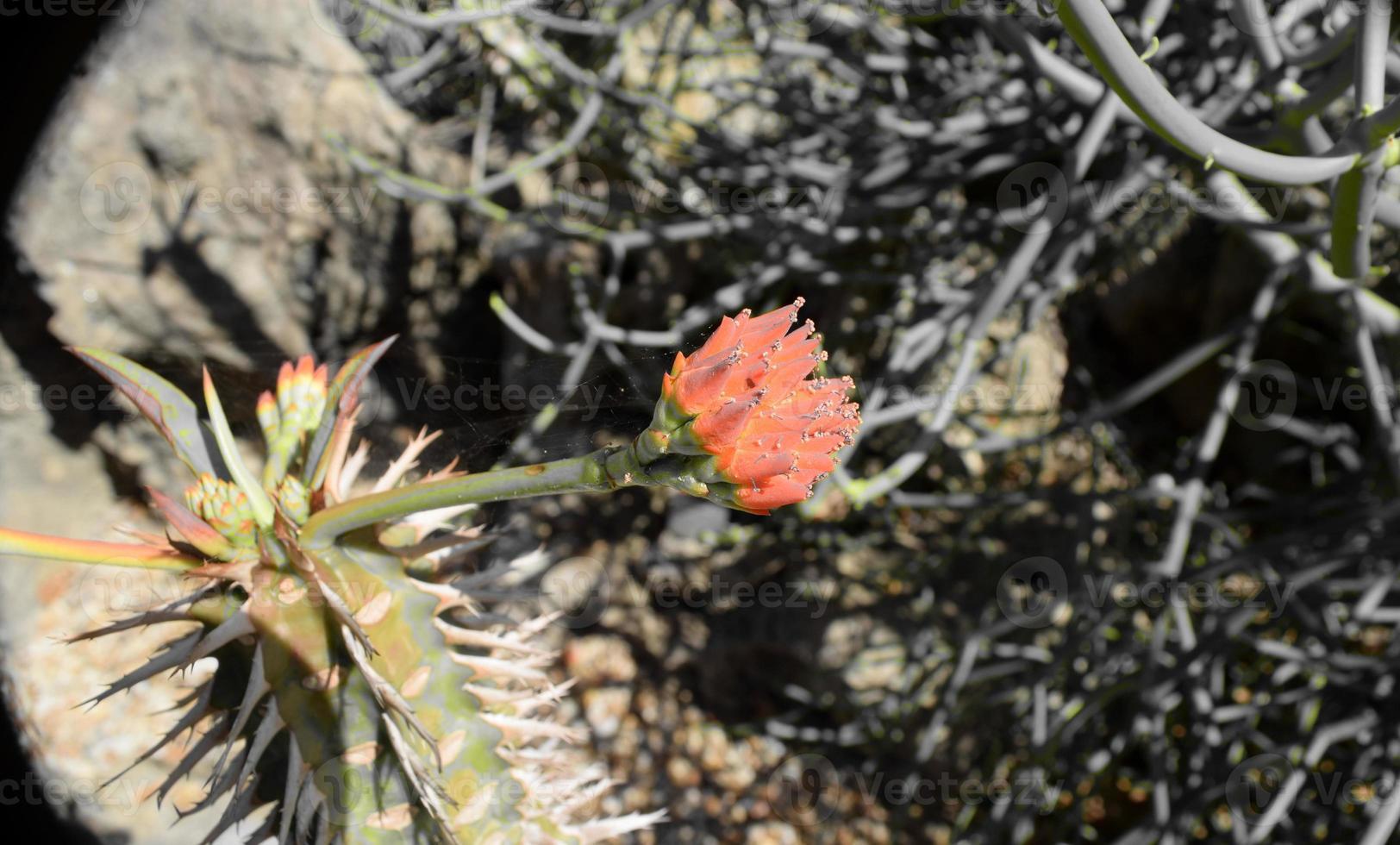 rosa del deserto foto