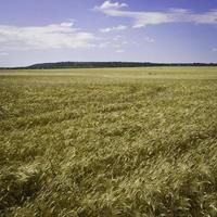 campo di grano con collina in puglia.