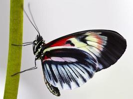 farfalla chiave per pianoforte (heliconius melpomene) ali chiuse su stelo verde foto