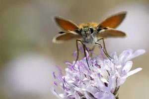 farfalla skipper sul fiore foto