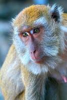 testa di scimmia, macaco foto
