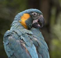 macaw dalla gola blu da vicino foto