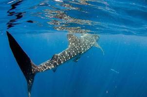 squalo balena foto