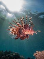 lionfish con il chiarore del sole foto