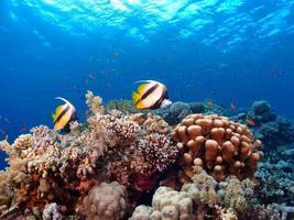 coppia di pesci e barriera corallina foto