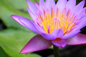 bellissimo fiore di loto foto